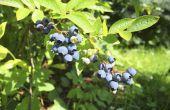 Hoe Blueberry struiken snoeien