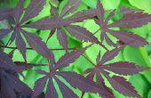 Hoe om te groeien van een Japanse esdoorn-boom in Canada