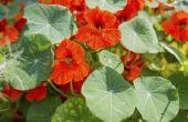 De snelst groeiende bloemzaden