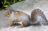 How to Get Rid van muizen die onder het dek zonder doden eekhoorns leven