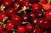 How to Grow Montmorency Cherry bomen