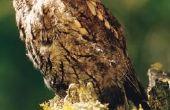 Uil soorten-Alabama
