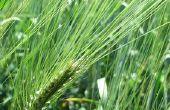 Biologische gras & Weed Killer