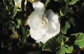 Gardenias verliezen bladeren in de herfst?