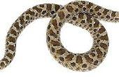 Bruin slangen in Mississippi