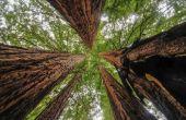 Waar Is de grootste boom ter wereld?