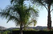 Het verschil tussen de palmbomen & kokospalmen