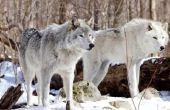 Feiten over de toendra wolven