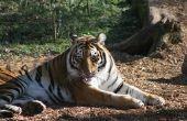 Hoe herken ik een vrouwelijke & mannelijke tijger uit elkaar