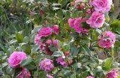 How to Take Care van bacterievuur op Old Rose struiken