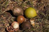 Hoe om te roosteren macadamianoten