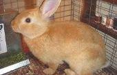 Symptomen van konijn Calicivirus ziekte