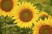 Feiten over zonnebloem stuifmeel