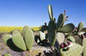 Wat eet een Cactus?