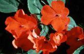 Bloemen die er als Impatiens uitzien