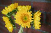 Hoe om te weten wanneer te planten zonnebloemen