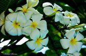De betekenis van de Plumeria bloem