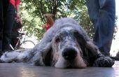 Vergrote lever bij honden