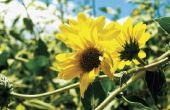 Eeuwigdurende bloemen die vanaf het voorjaar tot herfst bloeien