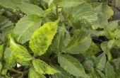 Wat zijn de zwarte insecten op een Dahlia?