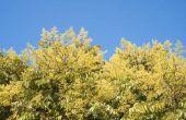 Gouden regen boom feiten
