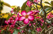How to Take Care van een Desert Rose Plant binnenshuis