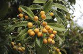 Soorten bomen produceren pitvruchten vruchten