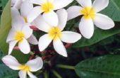 Hoe lang tot bloemen van de Plumeria?