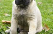 Hoe te stoppen met een Mastiff Puppy van bijten