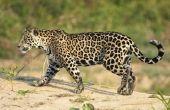 Waarom zijn Jaguars bedreigde dieren?