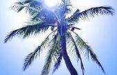 Hoe Winter voorbereiden een palmboom