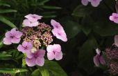 Hoe om te groeien Hydrangeas van stekken