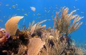 Hoe teken je een koraalrif