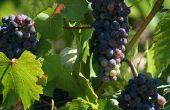 Pinot wijn soorten