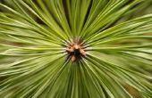 Mijn Mugo Pines sterven