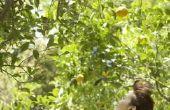 Hoe groot Is een citroen boom?