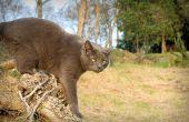 Zwangerschap en de lengte van de dracht van de kat