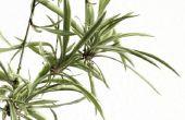 Kunnen stolonen planten groeien op de top van onkruid belemmeringen?