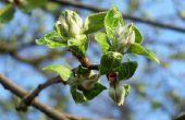 Wanneer Is de beste tijd om fruitbomen Spray & hoe vaak?