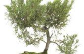 Hoe te beginnen een kornoelje Bonsai boom