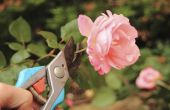 Wroeten een roos van een stek