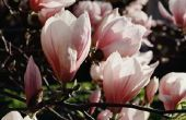 Wat zijn Magnolia boom kegels voor gebruikt?