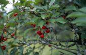 Hoe te identificeren van een Black Cherry door het blad