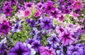 Do I Have to Worry over mijn Petunia's, viooltjes en Geraniums bevriezen op 32 graden?