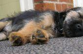 Hoe krijg ik een hond Urine geur uit het tapijt