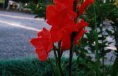 Hoe te snoeien een gladiolen