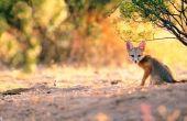 Hoe de zorg voor een Baby Red Fox