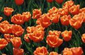 Moeten tulpen worden gesneden terug toen gedaan bloeien?