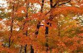 Wanneer de Maple bomen bloeien?