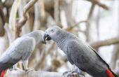 Het bepalen van geslacht van Afrikaanse grijze papegaaien